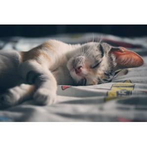 フリー写真, 動物, 哺乳類, 猫(ネコ), 三毛トラ猫, 子供(動物), 子猫, 寝る(動物)