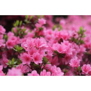 フリー写真, 植物, 花, ツツジ, ピンク色の花