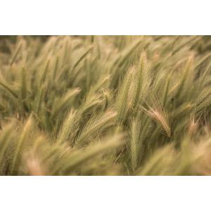 フリー写真, 作物, 穀物, 麦(ムギ), 畑