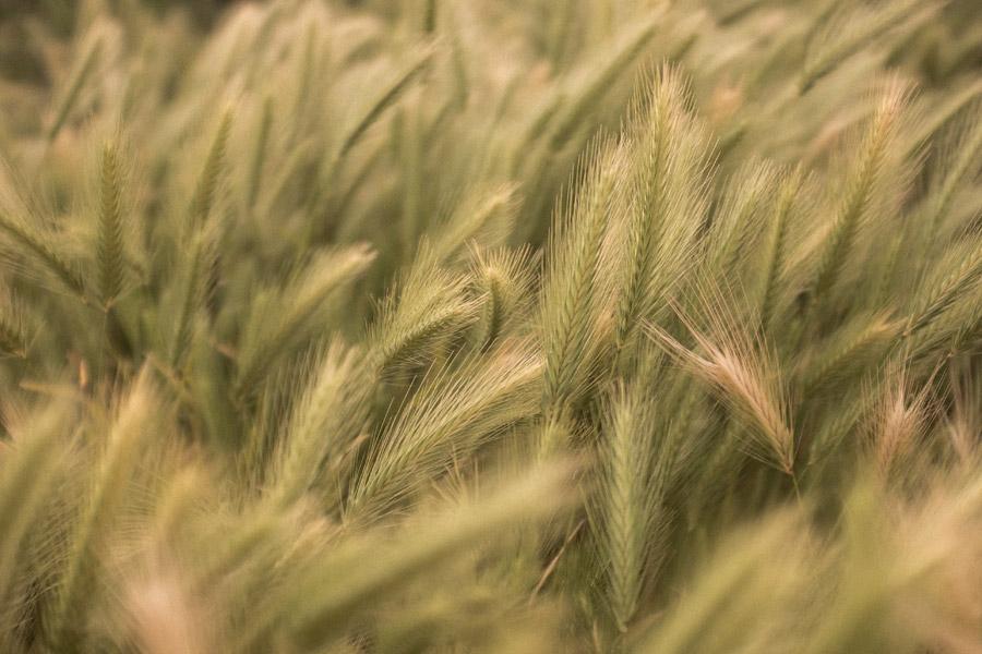 フリー写真 麦穂