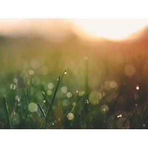 フリー写真, 風景, 自然, 植物, 雑草, 水滴(雫), 朝日