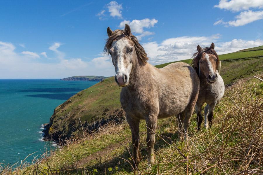 フリー写真 海の上の崖にいる二匹の馬