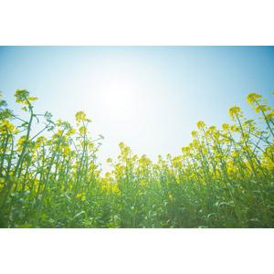 フリー写真, 風景, 青空, 畑, 花畑, 植物, 花, 菜の花(アブラナ), 黄色の花, 春