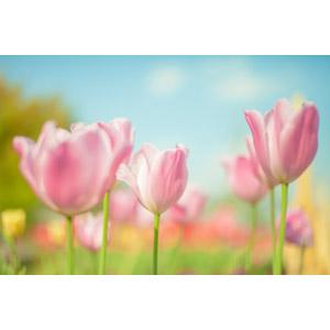 フリー写真, 植物, 花, チューリップ, ピンク色の花, 花畑