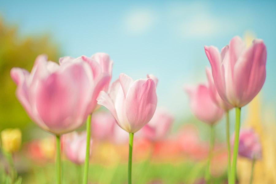 フリー写真 ピンク色のチューリップ