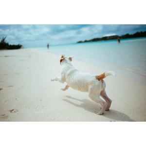 フリー写真, 動物, 哺乳類, 犬(イヌ), 走る(動物), ビーチ(砂浜)