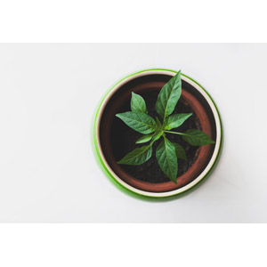 フリー写真, 植物, 観葉植物, 植木鉢