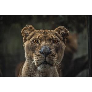 フリー写真, 動物, 哺乳類, ライオン, 動物の顔