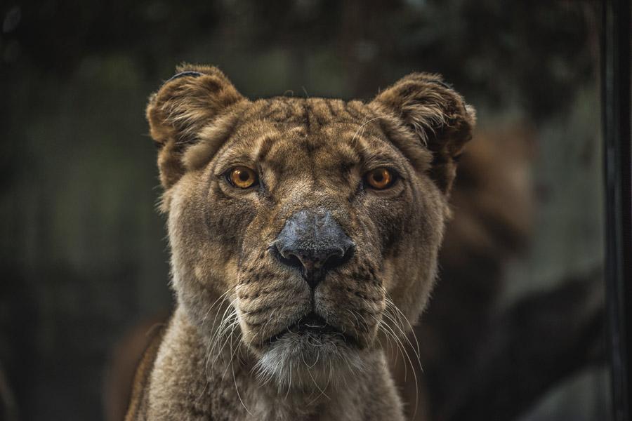 フリー写真 凛々しいメスライオン