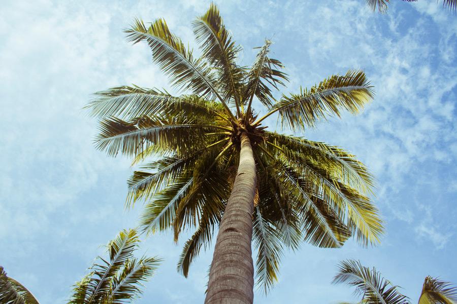 フリー写真 下から見上げるヤシの木