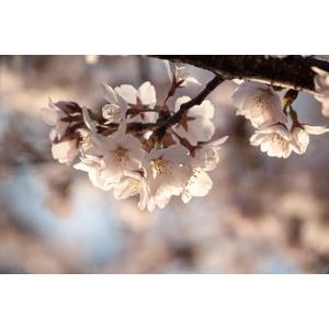 フリー写真, 植物, 花, 桜(サクラ), 春