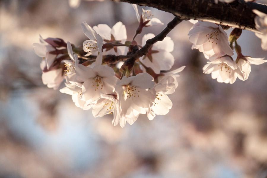 フリー写真 アメリカでさくらの花