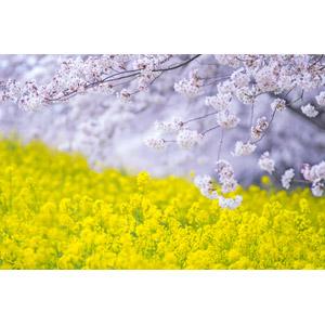 フリー写真, 風景, 植物, 花, 桜(サクラ), 菜の花(アブラナ), 黄色の花, 春
