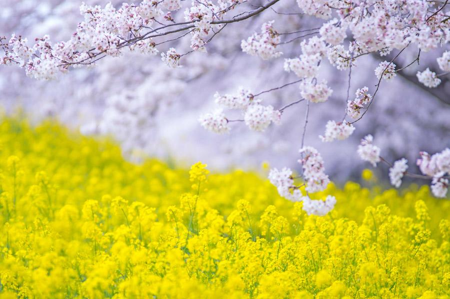 フリー写真 桜との花と菜の花