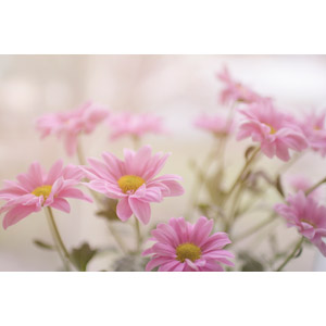 フリー写真, 植物, 花, マーガレット, ピンク色の花