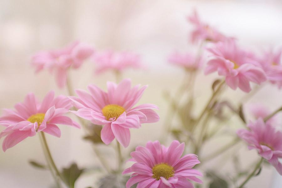 フリー写真 ピンク色のマーガレット