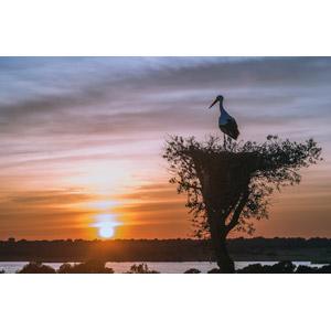 フリー写真, 風景, 自然, 夕暮れ(夕方), 夕焼け, 夕日, 日の入り, 鳥の巣, 動物, 鳥類, 鳥(トリ), コウノトリ