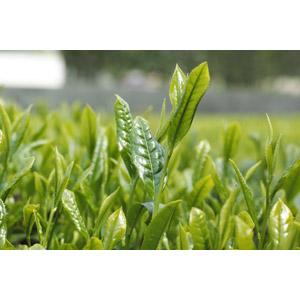 フリー写真, 作物, お茶, 新芽, 畑, 葉っぱ, 緑色(グリーン)