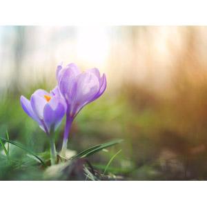 フリー写真, 植物, 花, クロッカス, 紫色の花