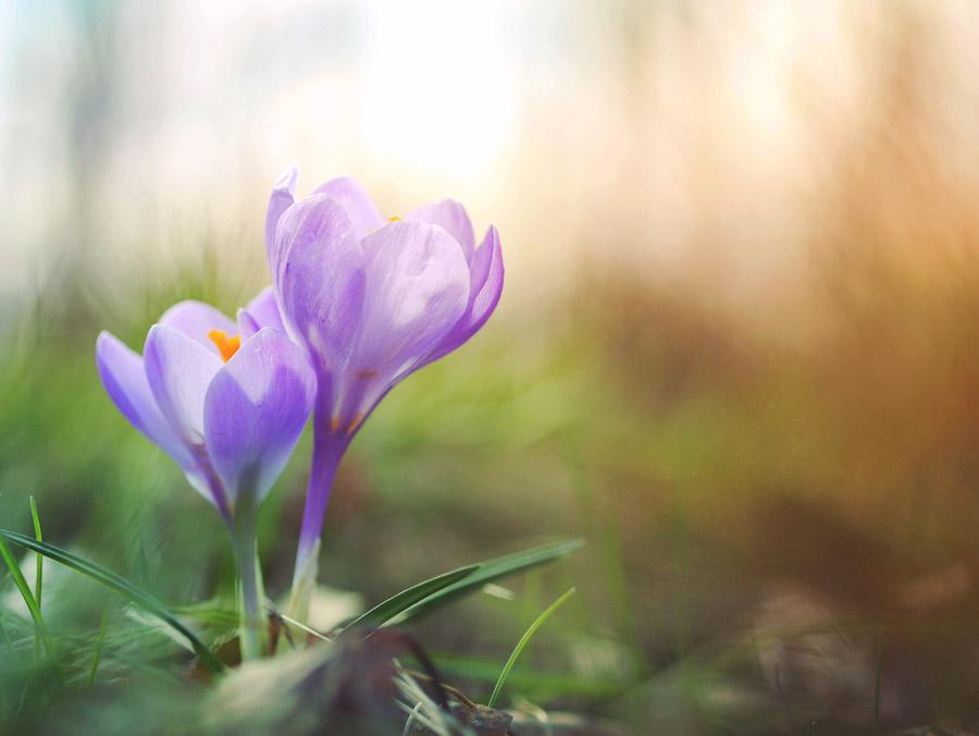 フリー写真 クロッカスの花