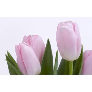 フリー写真, 植物, 花, チューリップ, ピンク色の花, 白背景, 水滴(雫)