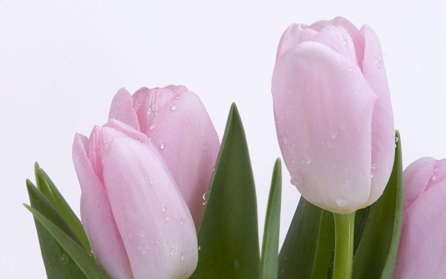 フリー写真 ピンク色のチューリップの花