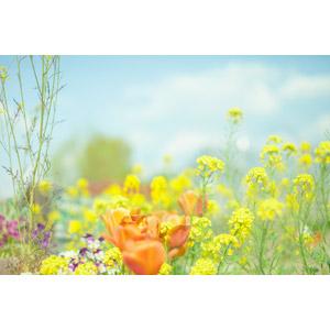 フリー写真, 植物, 花, 花畑, 菜の花(アブラナ), チューリップ