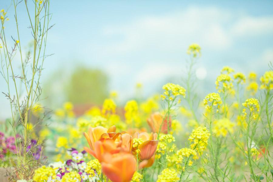 フリー写真 チューリップや菜の花などの花畑