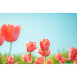 フリー写真, 植物, 花, チューリップ, 花畑, 赤色の花, 青空