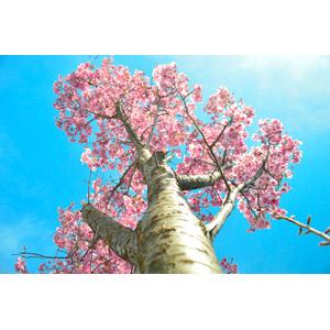 フリー写真, 風景, 自然, 樹木, 桜(サクラ), 春, 青空, 花, ピンク色の花