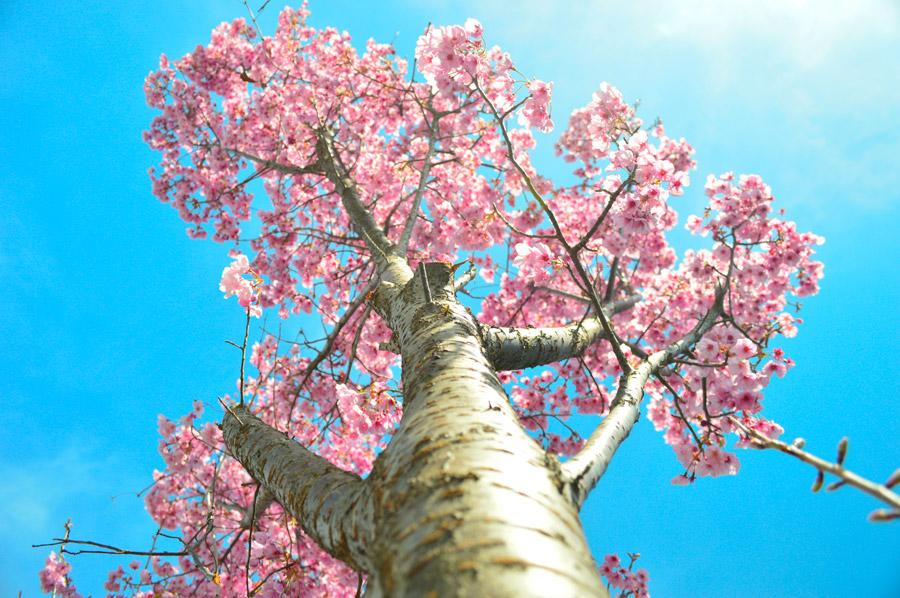 フリー写真 下から見上げるさくらの木の風景