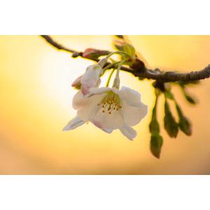 フリー写真, 植物, 花, 桜(サクラ), 蕾(つぼみ), 春, 夕暮れ(夕方), 夕焼け, 夕日