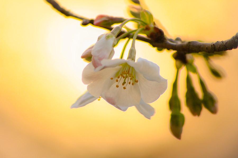 フリー写真 夕陽とさくらの花と蕾