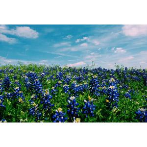 フリー写真, 風景, 植物, 花, ルピナス, 青色の花, 花畑, 青空
