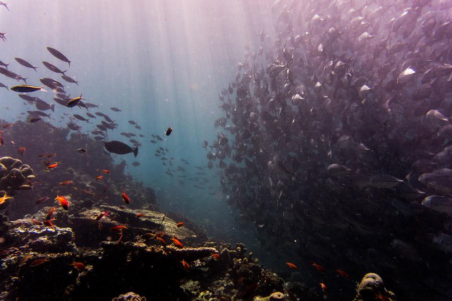 フリー写真 シパダン島のギンガメアジの群れ