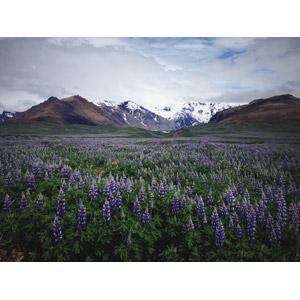 フリー写真, 風景, 自然, 山, 植物, 花, ルピナス, 紫色の花, 花畑, アイスランドの風景
