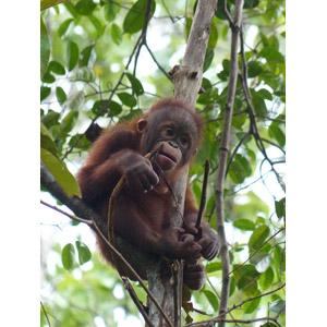 フリー写真, 動物, 哺乳類, 猿(サル), オランウータン, 子供(動物)