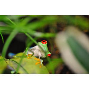 フリー写真, 動物, 両生類, 蛙(カエル), アカメアマガエル, 覗く(動物), 首を傾げる(動物)