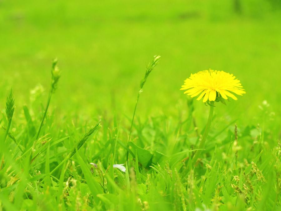 フリー写真 一輪のたんぽぽの花