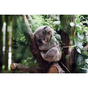 フリー写真, 動物, 哺乳類, コアラ, 寝る(動物)