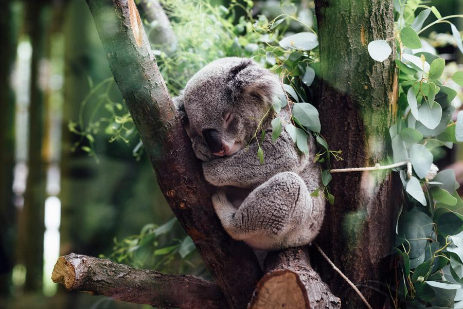 フリー写真 木の上で寝ているかわいいコアラ