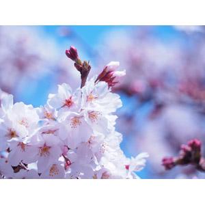 フリー写真, 植物, 花, 桜(サクラ), ピンク色の花, 蕾(つぼみ), 春