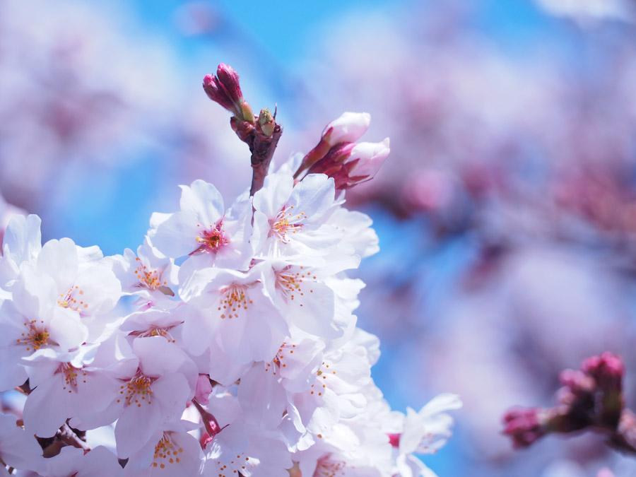 フリー写真 さくらの花とつぼみ
