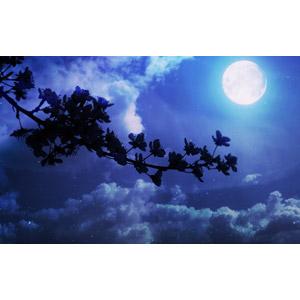 フリー写真, 風景, 自然, 植物, 花, 枝, 雲, 夜空, 夜, 月