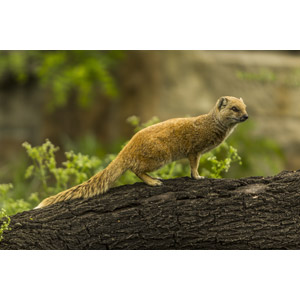 フリー写真, 動物, 哺乳類, マングース