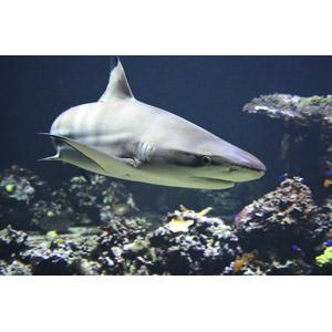 フリー写真, 動物, 魚類, 鮫(サメ)