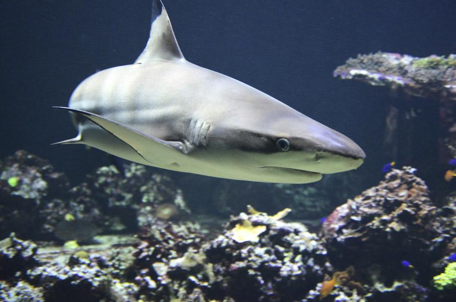 フリー写真 カマストガリザメ