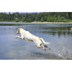 フリー写真, 動物, 哺乳類, 犬(イヌ), ジャンプ(動物), ダイブ(動物), 湖