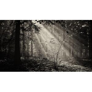 フリー写真, 風景, 自然, 森林, 木漏れ日, 太陽光(日光), 薄明光線, モノクロ