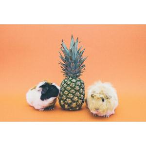 フリー写真, 動物, 哺乳類, 鼠(ネズミ), モルモット, 食べ物(食料), 果物(フルーツ), パイナップル